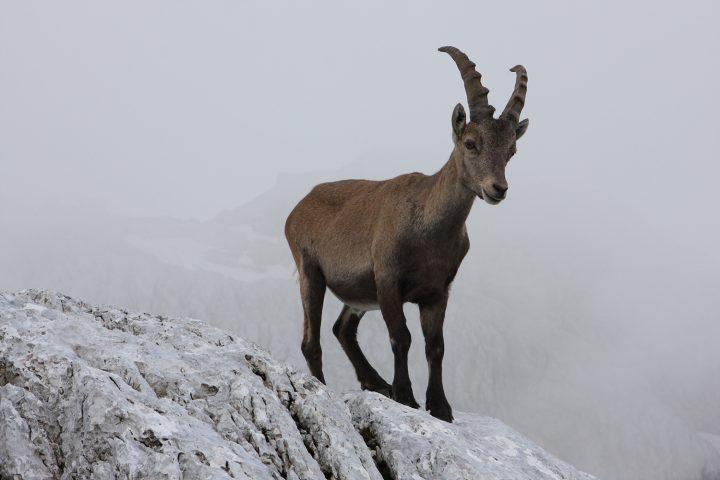Mountain Goat - Ibex | Photo: Rožle Bregar